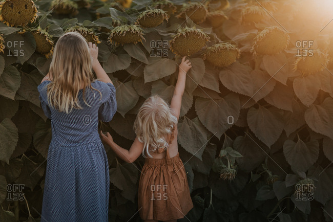 Two girls looking up at tall sunflowers from behind