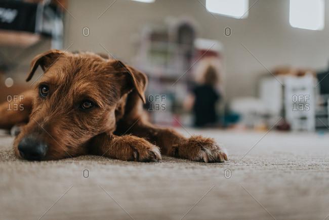 Brown dog resting on carpet