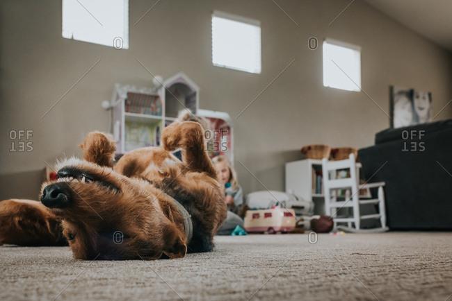 Brown dog lying upside down on carpet