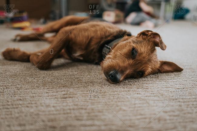 Brown dog sleeping on carpet