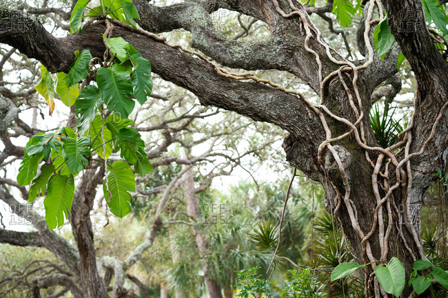 Gnarled oak tree growing in a tropical environment