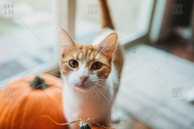 Cute tabby cat posing with pumpkins at home