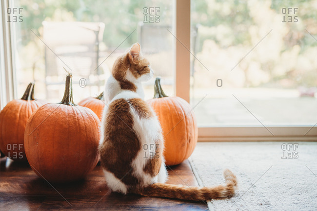 Cute orange and white cat posing with halloween pumpkins inside