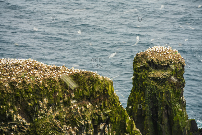 Colony of Northern Gannets (Morus bassanus), Mykines island, Faroe Islands, Denmark, Europe