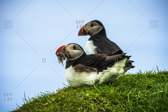 Atlantic puffins on grass, Mykines island, Faroe Islands, Denmark, Europe