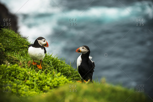 Couple of Atlantic puffins on cliff, Mykines island, Faroe Islands, Denmark, Europe