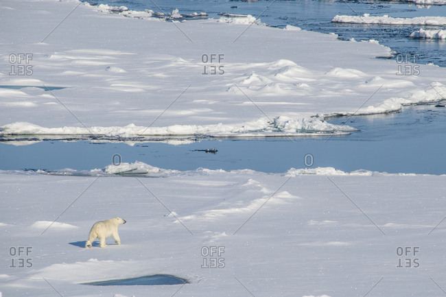Polar bear (Ursus maritimus) in the high arctic near the North Pole, Arctic, Russia, Europe