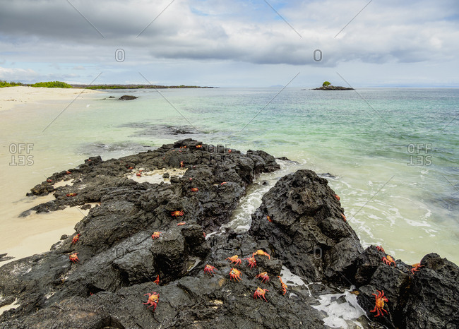 Sally Lightfoot Crabs (Grapsus grapsus), Bachas Beach, Santa Cruz (Indefatigable) Island, Galapagos, UNESCO World Heritage Site, Ecuador, South America