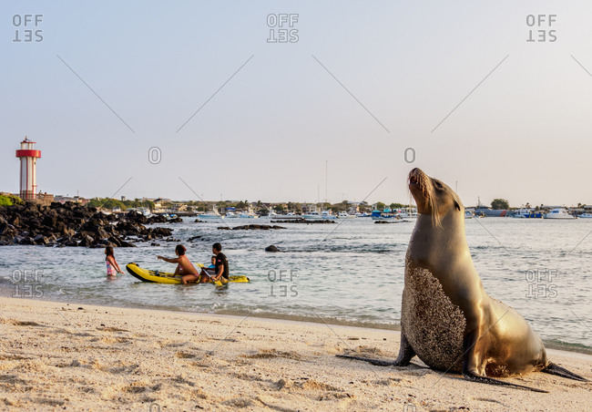 July 24, 2018: Sea Lion (Zalophus wollebaeki), Playa Mann, sunset, Puerto Baquerizo Moreno, San Cristobal (Chatham) Island, Galapagos, UNESCO World Heritage Site, Ecuador, South America