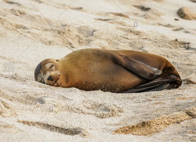 Sea Lion (Zalophus wollebaeki), Punta Carola Beach, San Cristobal (Chatham) Island, Galapagos, UNESCO World Heritage Site, Ecuador, South America