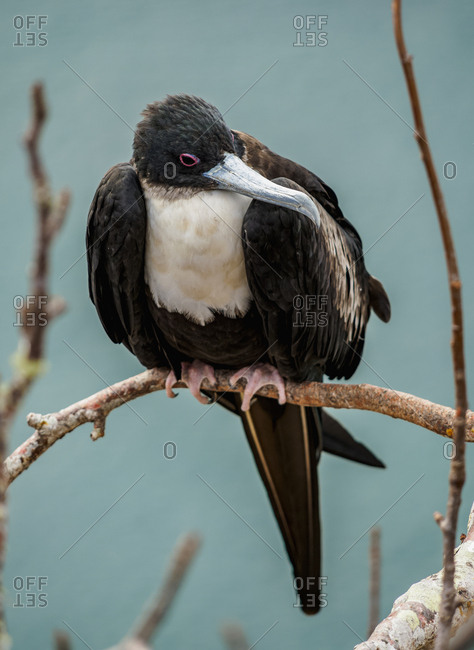 Magnificent frigatebird (Fregata magnificens), Cerro Tijeretas, San Cristobal (Chatham) Island, Galapagos, UNESCO World Heritage Site, Ecuador, South America