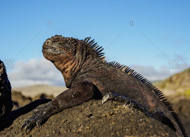 Marine iguana (Amblyrhynchus cristatus), San Cristobal (Chatham) Island, Galapagos, UNESCO World Heritage Site, Ecuador, South America