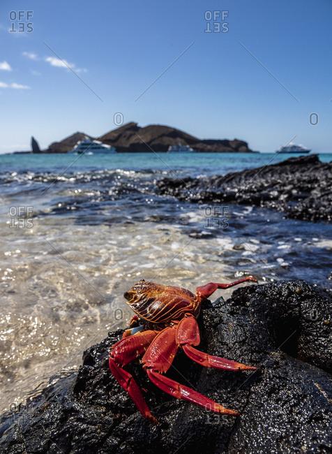 Sally Lightfoot crab (Grapsus grapsus), Sullivan Bay, Santiago (James) Island, Galapagos, UNESCO World Heritage Site, Ecuador, South America