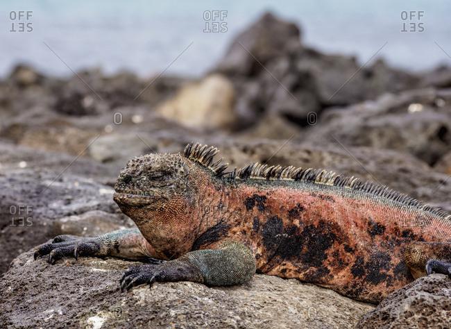 Marine iguana (Amblyrhynchus cristatus), Floreana (Charles) Island, Galapagos, UNESCO World Heritage Site, Ecuador, South America