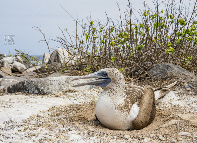 Blue-footed booby (Sula nebouxii) on a nest, Punta Suarez, Espanola (Hood) Island, Galapagos, UNESCO World Heritage Site, Ecuador, South America