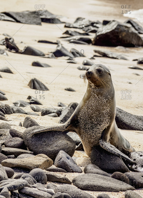Galapagos Sea Lion (Zalophus wollebaeki) on a beach at Punta Suarez, Espanola (Hood) Island, Galapagos, UNESCO World Heritage Site, Ecuador, South America