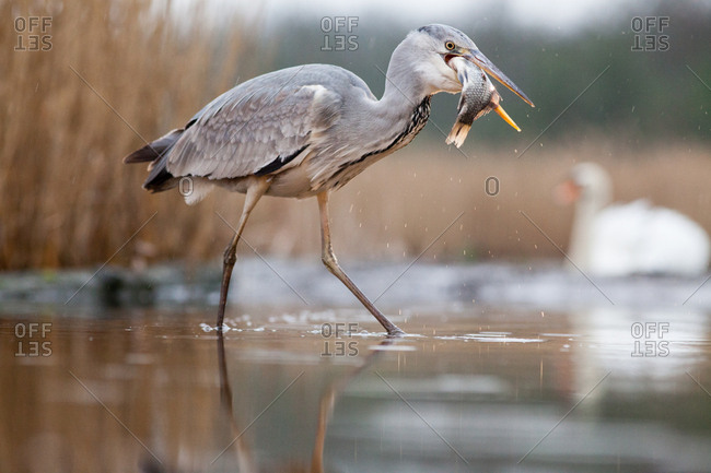 Grey heron fishing on lake, Pusztaszer National Park, Hungary, Europe