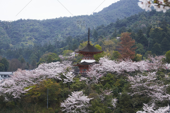 Itsukushima Shrine, Hiroshima Prefecture, Japan- April 4, 2017: The Shinto shrine amongst cherry blossoms and the forest.