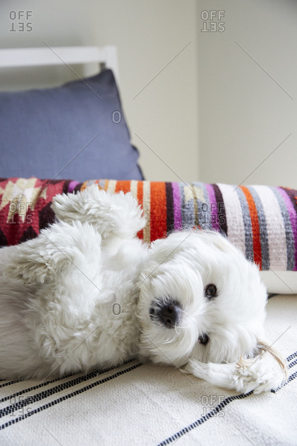 White dog lying on back on a bed