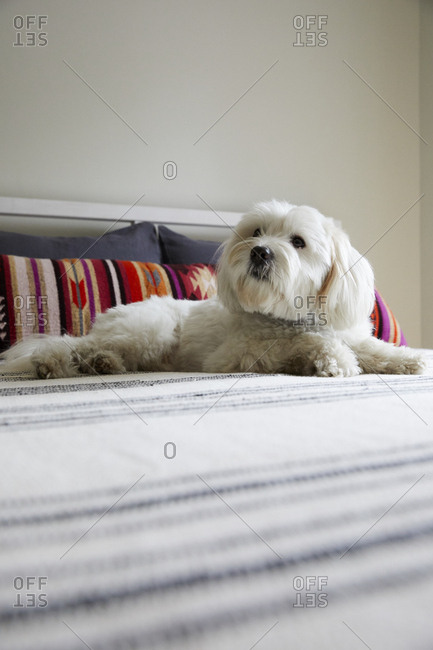 White dog resting on bed