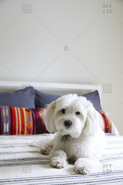 White dog lying on bed with colorful pillows