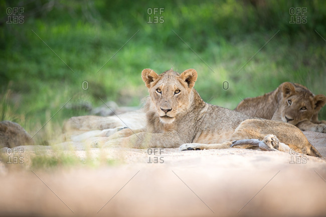 Young lion, Panthera leo.