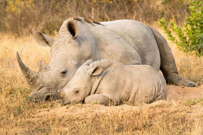 A rhino mother and calf, Ceratotherium simum, lie side by side, red-billed oxpeckers, Buphagus erythrorhynchus, perch on the rhino.