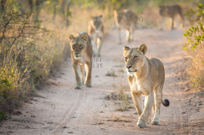 A pride of lions, Panthera leo, walk towards the camera on a sand road