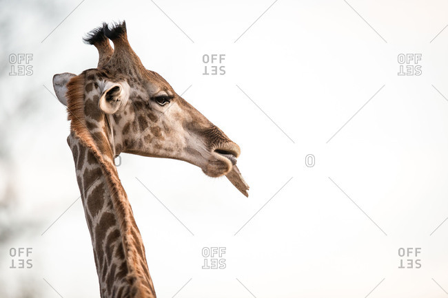 A giraffe's head, Giraffa camelopardalis, chewing, ears back.