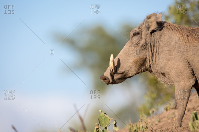 A side profile of a warthog, Phacochoerus africanus, standing on soil, white tusks, against blue sky.
