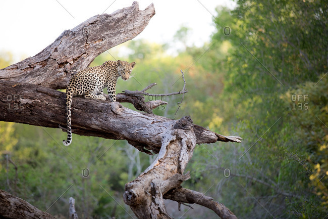 A leopard, Panthera pardus, sits on a dead tree trunk, alert, tail drapping over trunk, greenery in background.