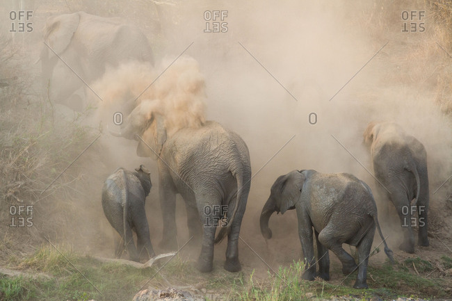 An elephant herd, Loxodonta africana, have a dust bath, sand on their backs, trunks in the air, dusty air.