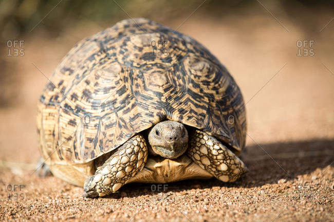 A leopard tortoise, Stigmochelys pardalis, stands on sand, alert, head out of shell.