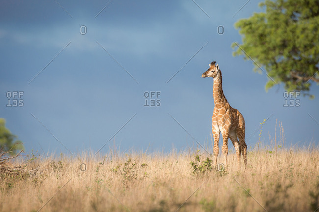 A young giraffe calf, Giraffa camelopardalis, stands in the sun in brown grass, looking away, dark blue sky in background.