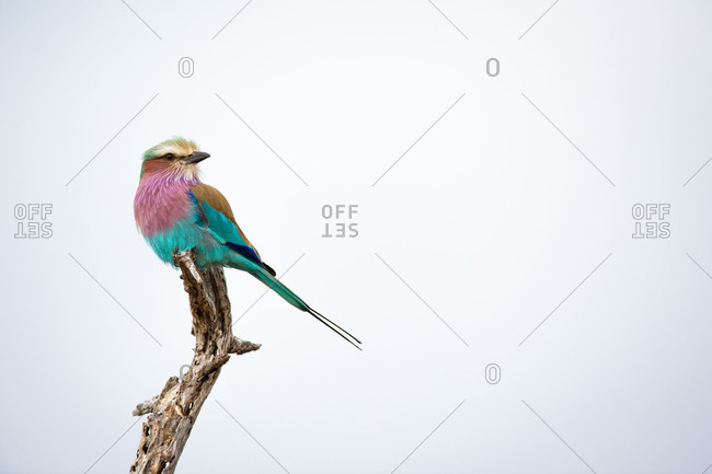 A lilac-breasted roller, Coracias caudatus, perches at the top of a dead branch, looking away, against blue grey skies.