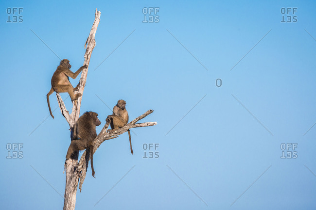 A troop of baboons, Papio ursinus, sit and climb a dead tree, looking away, blue sky background.