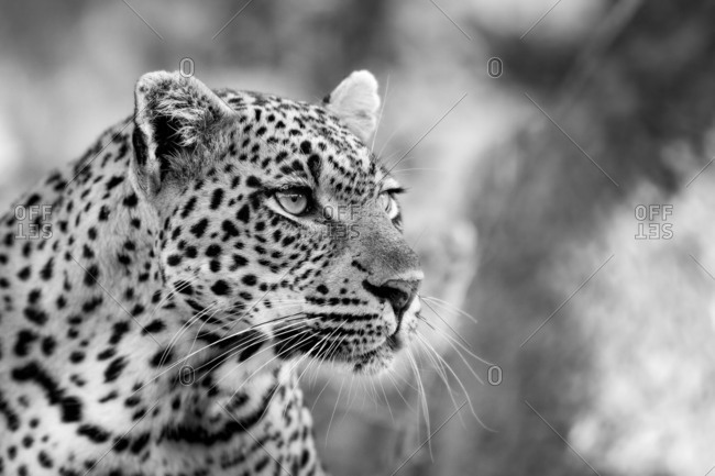 A leopard's head, Panthera pardus, looking away, black and white.