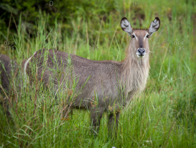 A female waterbuck, Kobus ellipsiprymnus, alert, standing in long green grass, ears forward.