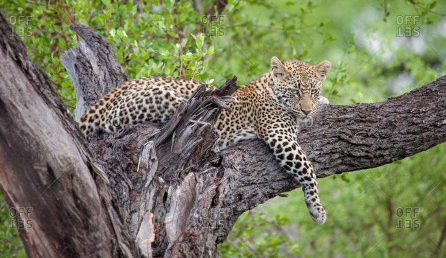 A leopard, Panthera pardus, lies in a tree, drape front leg over branch, looking away, greenery in background.