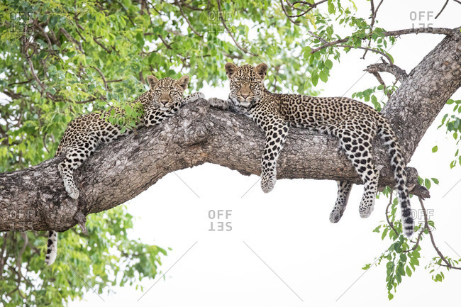 Two leopard cubs, Panthera pardus, lie on a marula tree, Sclerocarya birrea, alert, with their legs draped over the branch.