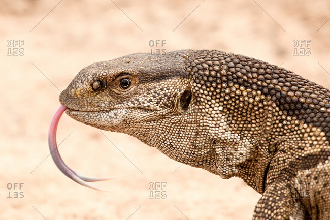 Rock monitor lizard's head, Varanus albigularis, tongue out, sand background