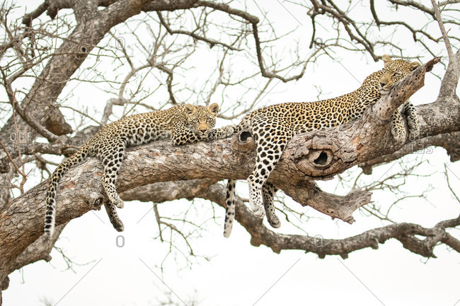 A leopard, Panthera pardus, cub and its mother lie on a branch of a marula tree, Sclerocarya birrea, drape feet and tails over the sides of the branch.