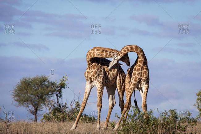Two giraffe, Giraffa camelopardalis, necking each other, blue sky background