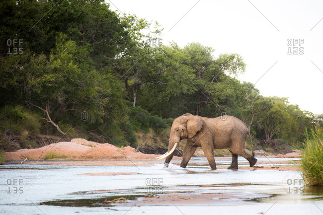 An elephant, Loxodonta africana, with long tusks walks across a shallow river, trunk in water, looking away, trees in background