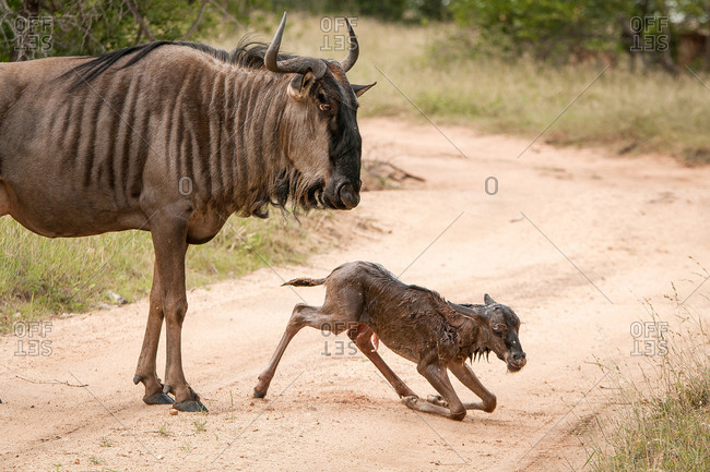 A mother wildebeest, Connochaetes taurinus, stands above her newly born calf who kneels on the road, looking away