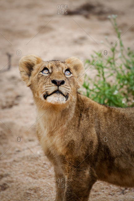 A lion cub, Panthera leo, stands in sand, looking up out of frame, glossy eyes