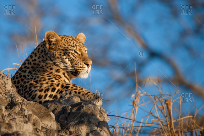 A leopard's head, Panthera pardus, lying on termite mound, looking away, blue sky background