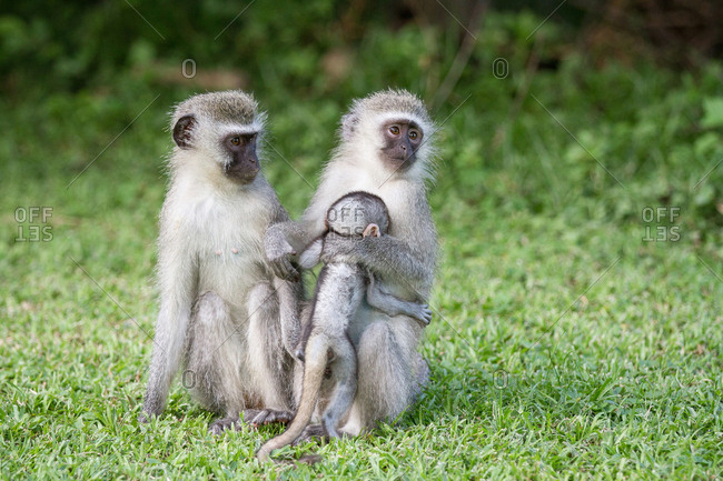 Vervet monkeys, Chlorocebus pygerythrus, sit upright in green short grass, looking away, mother hugging baby into chest