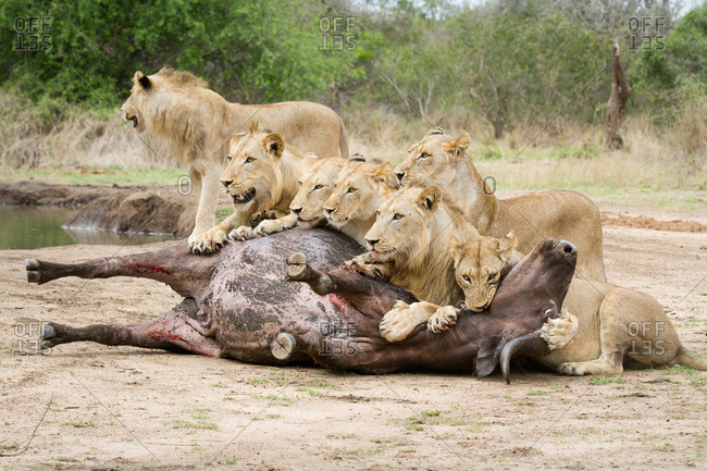 A pride of lions, Panthera leo, lie over a buffalo carcass, Syncerus caffer, looking away, biting neck of bloated buffalo