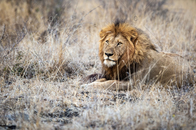 A male lion, Panthera leo, lies down in dry brown grass, direct gaze over shoulder, thick mane